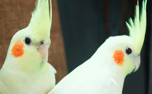 غذای پرنده خانگی