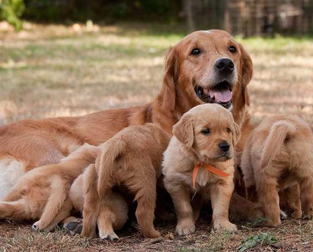 حاملگی سگ ها 1