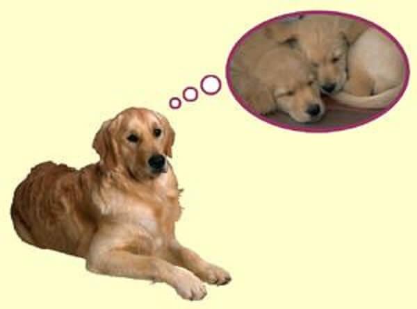 حاملگی کاذب سگ