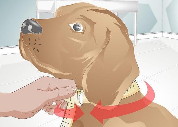 اندازه گیری گردن سگ با متر برای ساخت قلاده سگ