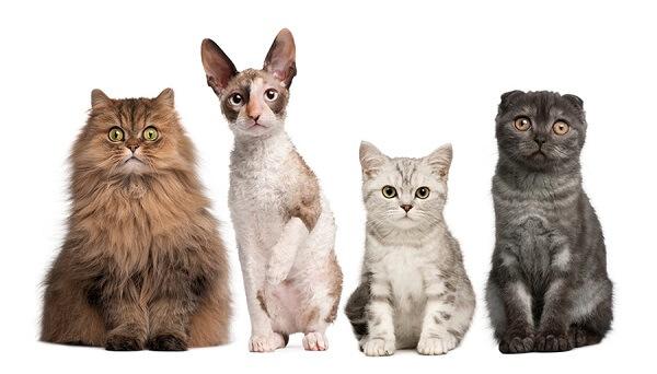 انواع نژاد گربه