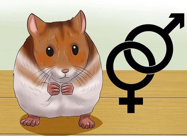 جنسیت همستر