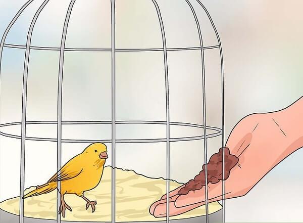 دستی کردن قناری داخل قفس از طریق غذا دادن با دست