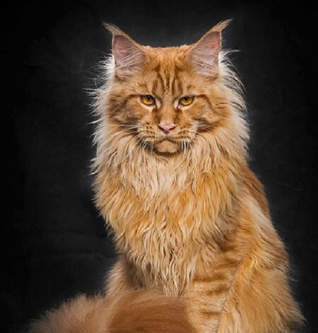 گربه مینکون