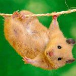 بررسی محبوبترین نژاد همستر