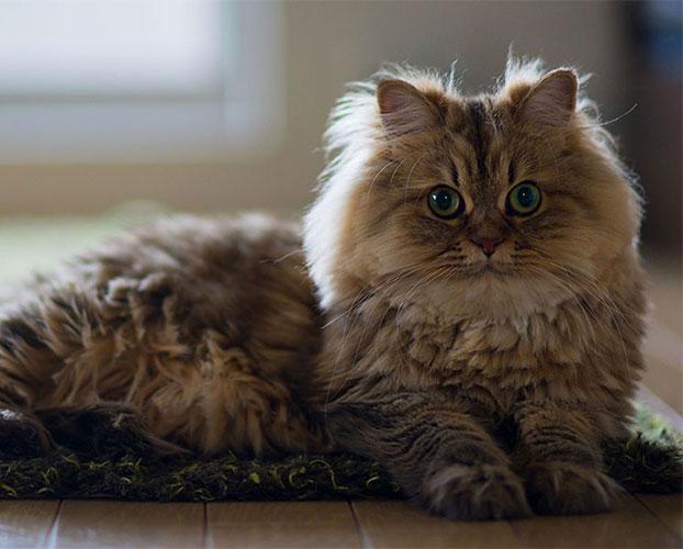 گربه پرشین 1 1