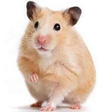 بیماری همستر
