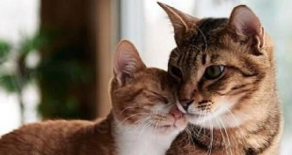 جفتگیری گربهها