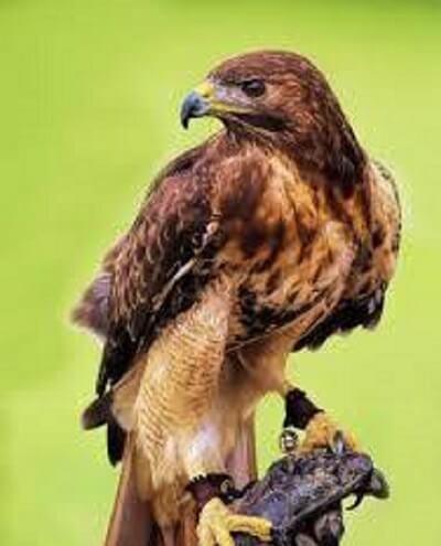 1-عقاب دم قرمز، خطرناکترین پرنده دنیا