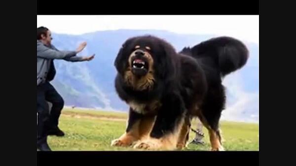 بزرگترین سگهای دنیا