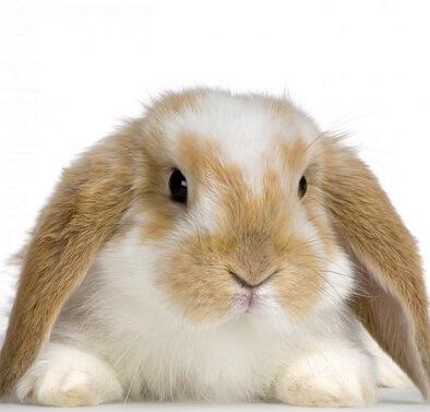 خرید خرگوش