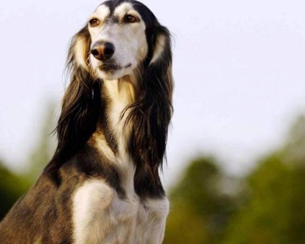 سگ ایرانی