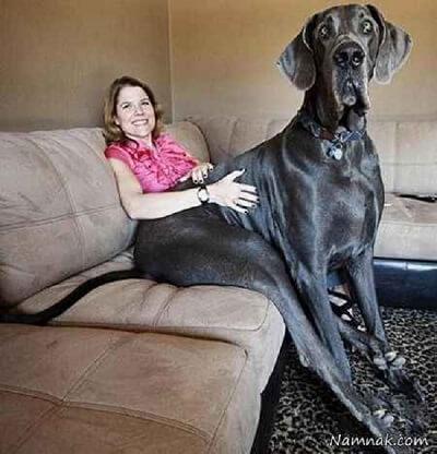 1-جرج، بزرگترین سگ دنیا