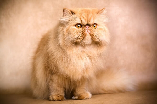 گربه پرشین فلت