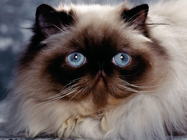 عکس گربه پرشین هیمالین