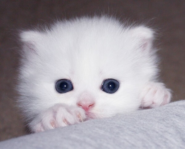 عکس گربه فنجونی یا گربه پرشین عروسکی سفید