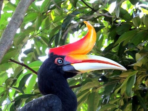پرنده دو منقاره هورانبیل شاخدار یک پرنده عجیب و فرازمینی
