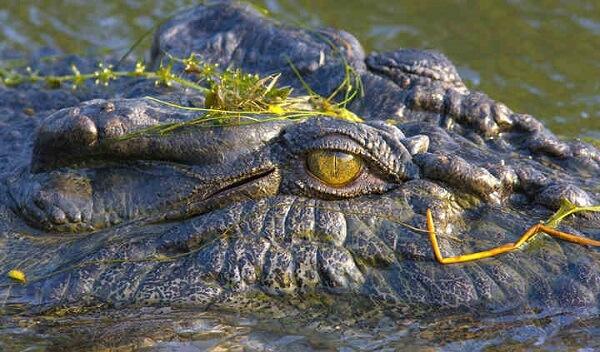 کروکودیل آب شور، خطرناکترین حیوان بزرگ جثه