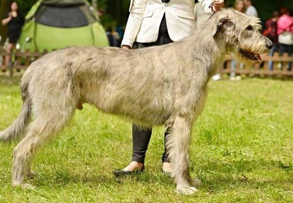 سگ ایریش ولف هاند