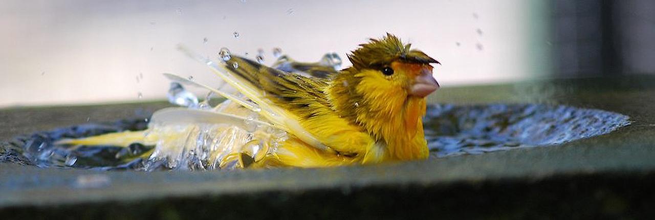 حمام کردن قناری زرد در کاسه آب
