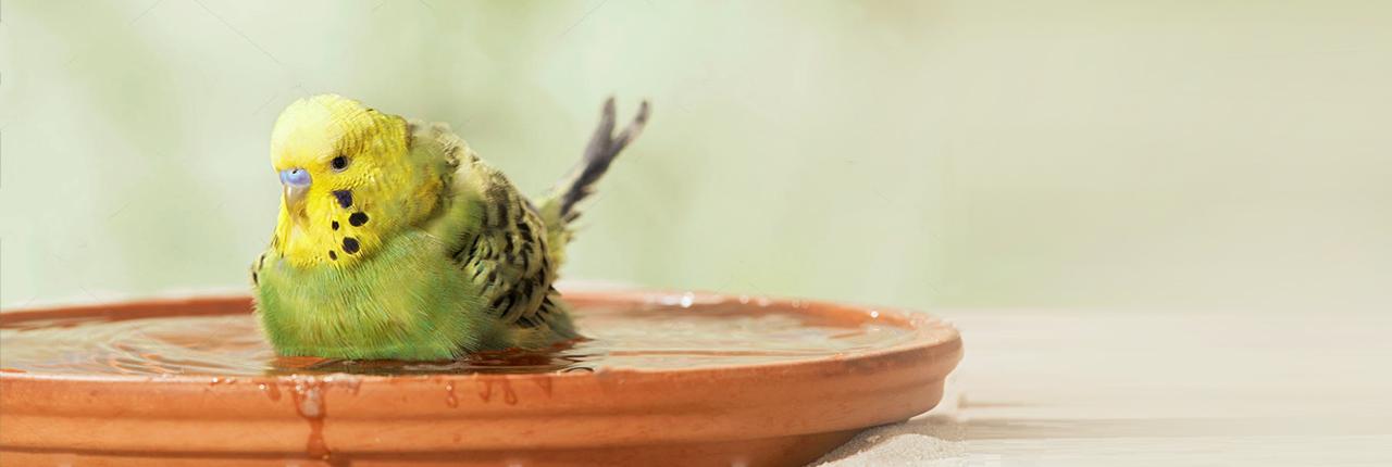 حمام کردن مرغ عشق زرد و سبز در کاسه سفالی