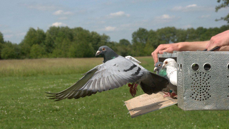عکس کبوتر پلاکی