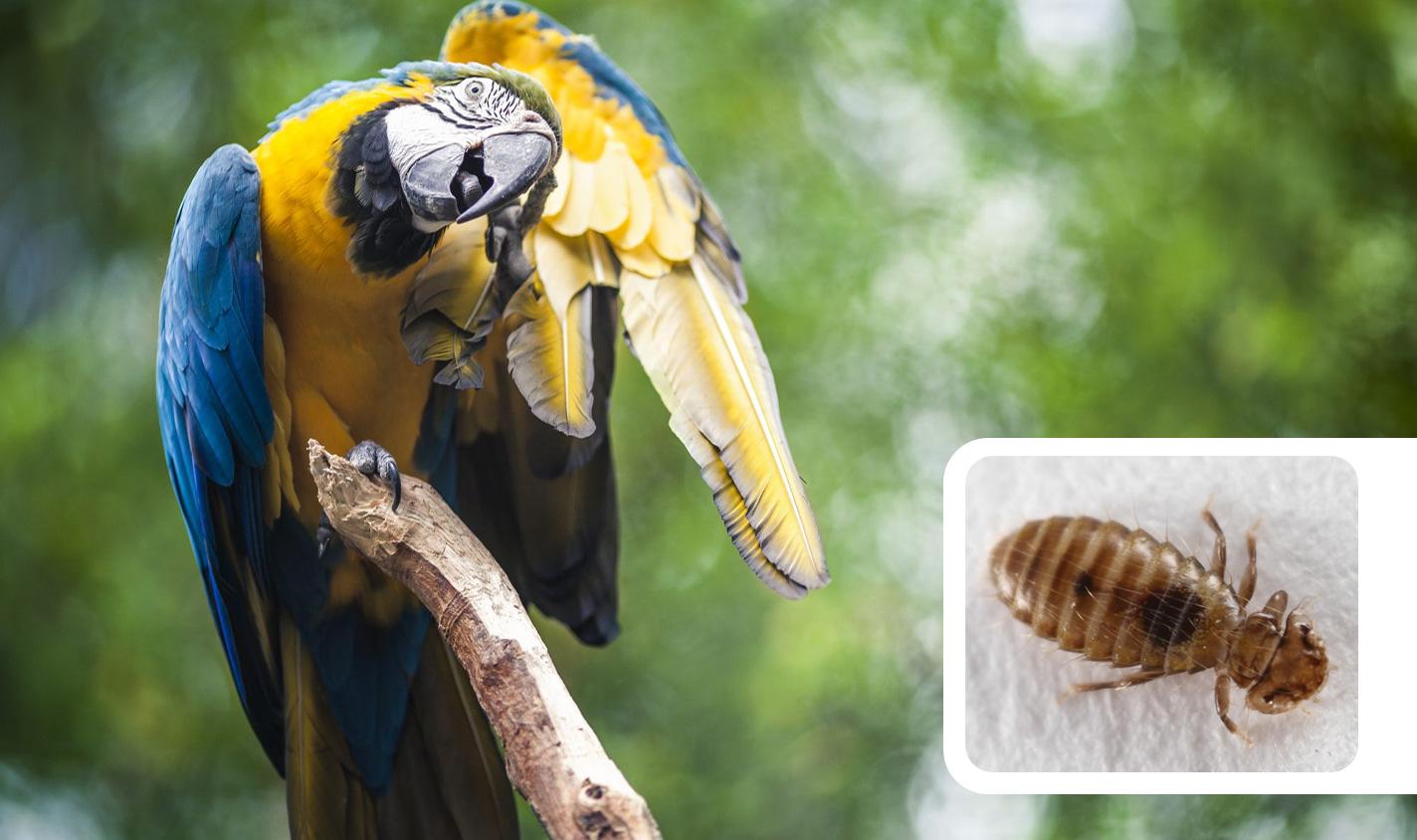 تصویر شپش پرنده