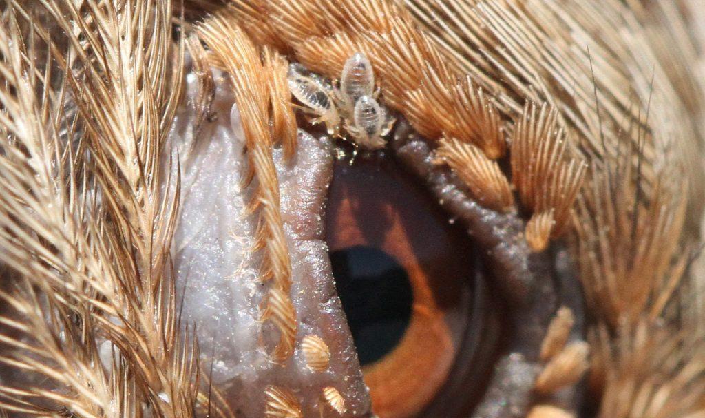 تشخیص شپش پرنده