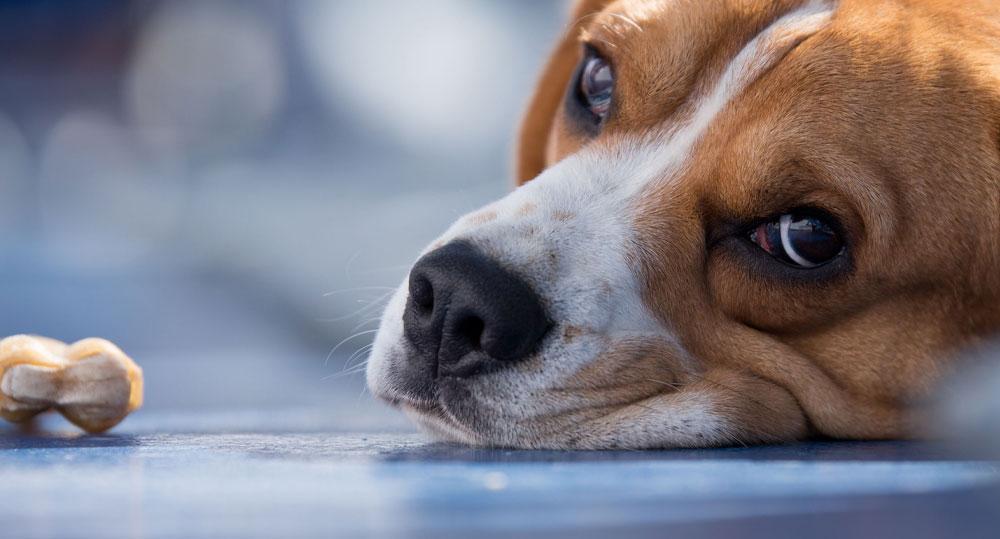 علل و علائم مسمومیت حسوانات خانگی با سرب