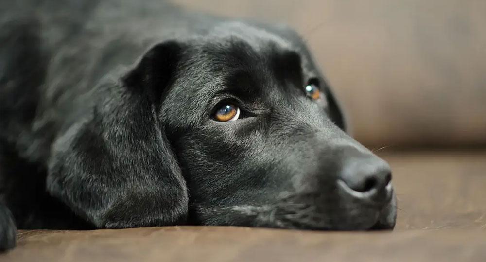 سگ مسموم شده با سرب