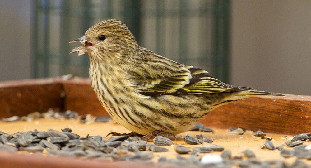 بی اشتهایی پرنده یکی از نشتنه های بیماری