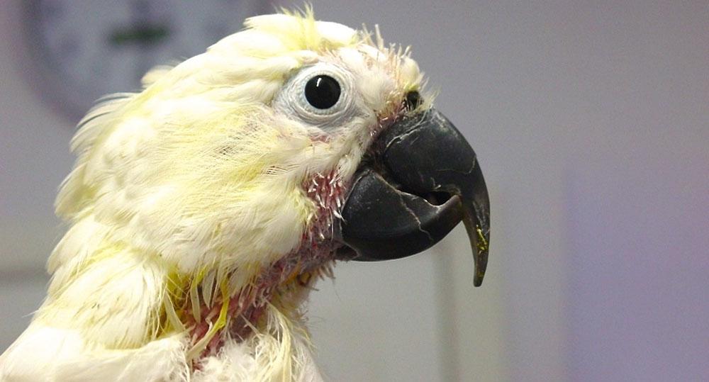 تشخیص بیماری پر کنی پرنده