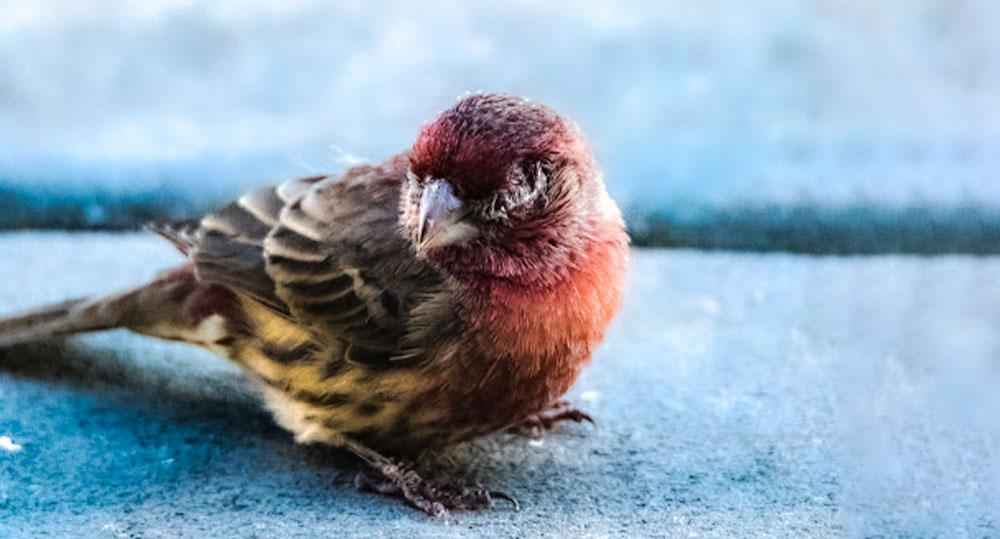 بی حالی پرنده یکی از راه های تشخیص بیماری پرنده