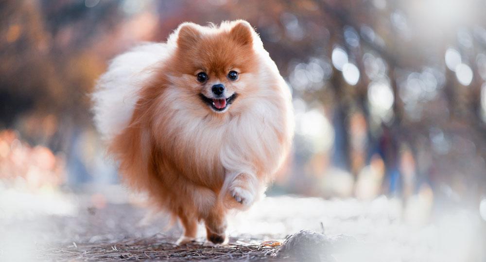 عکس سگ اشپیتز
