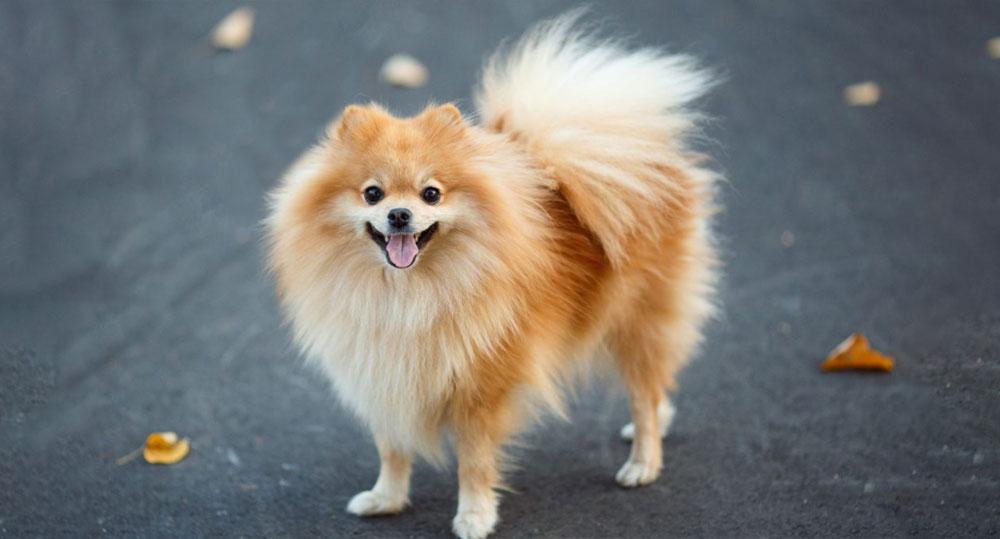 خصوصیات ظاهری سگ اشپیتز