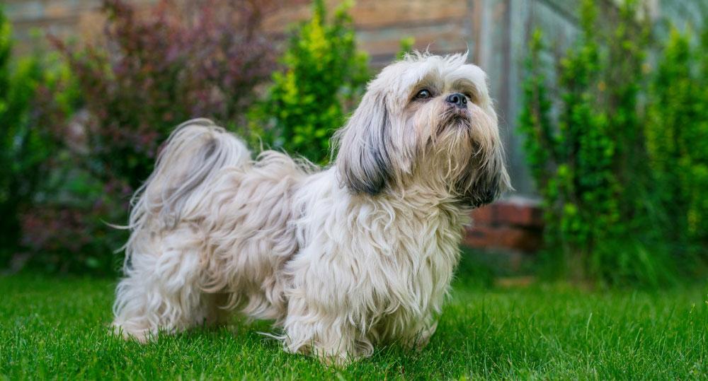 شیتزو یک نژآد سگ آپارتمانی