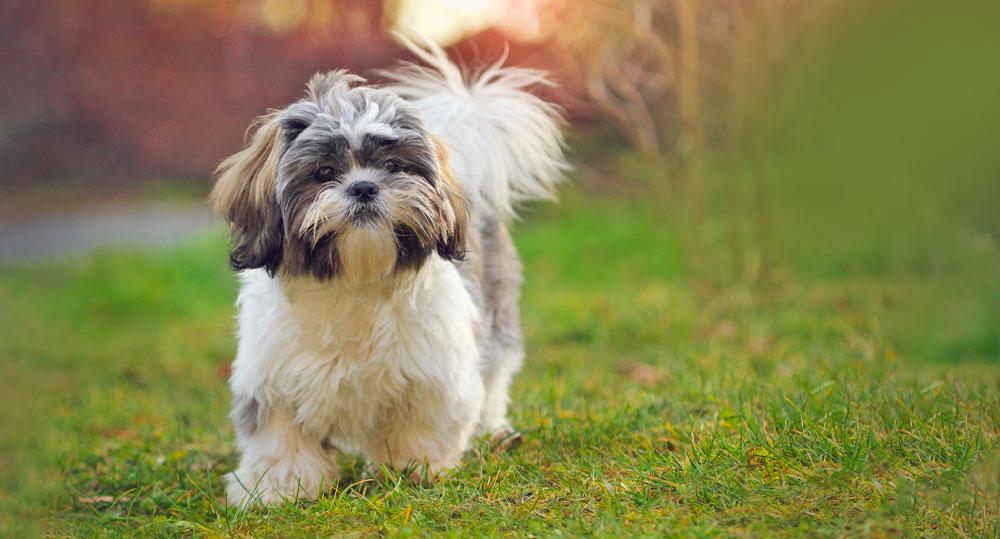خصوصیات سگ شیتزو