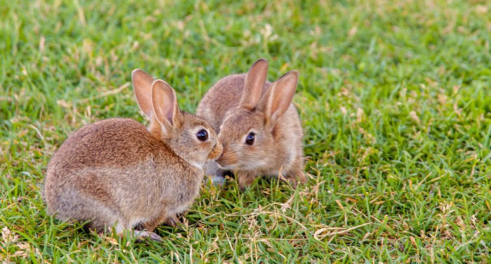 مزایای عقیم کردن خرگوش