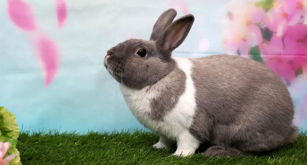 علت عقیم سازی خرگوش