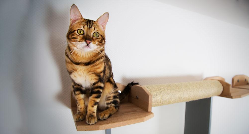 گربه مو کوتاه انگلیسی یک گربه آرام
