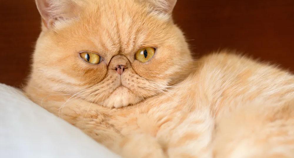 گربه پرشین یک گربه آپارتمانی