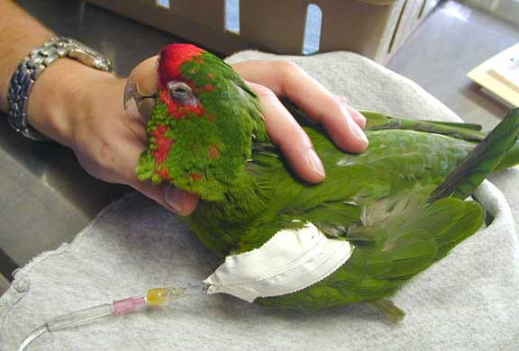 درمان بی اشتهایی و بی حالی پرنده