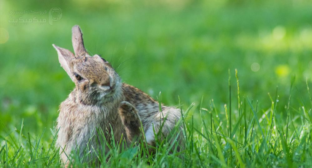 علائم خارش بدن خرگوش