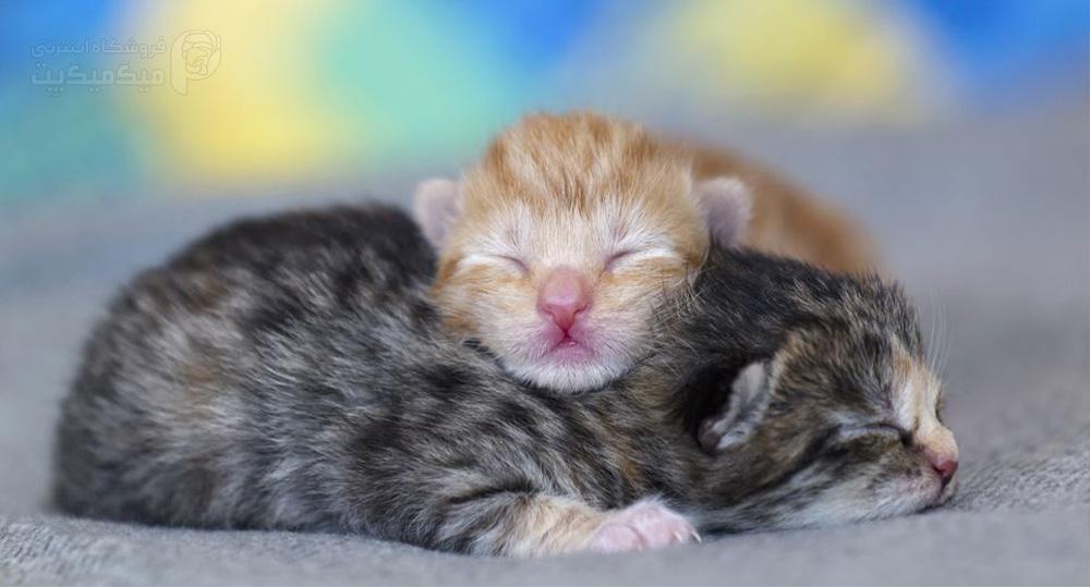 اولین هفته رشد بچه گربه
