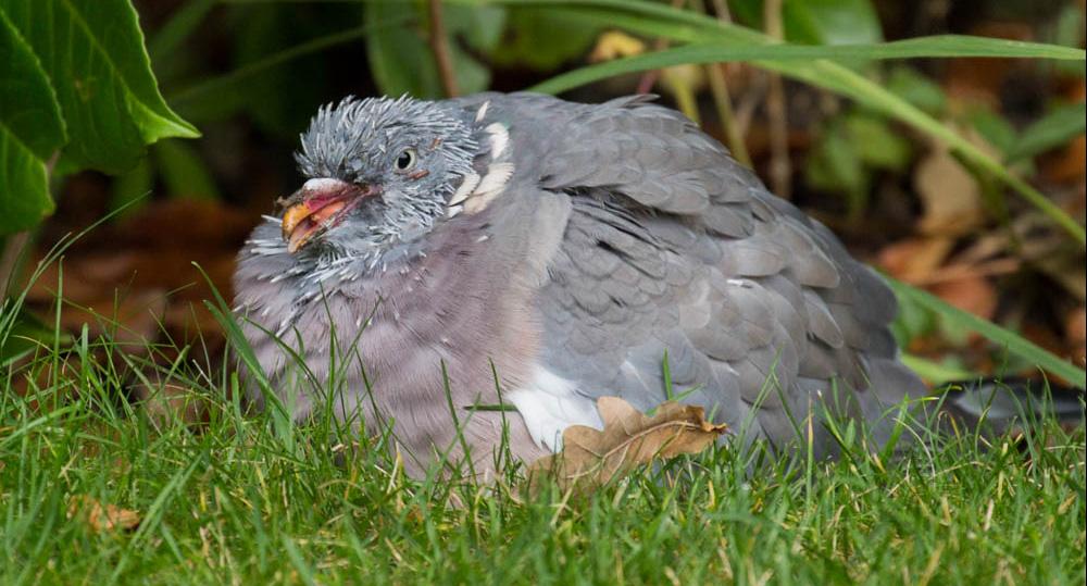 بیماری کبوتر