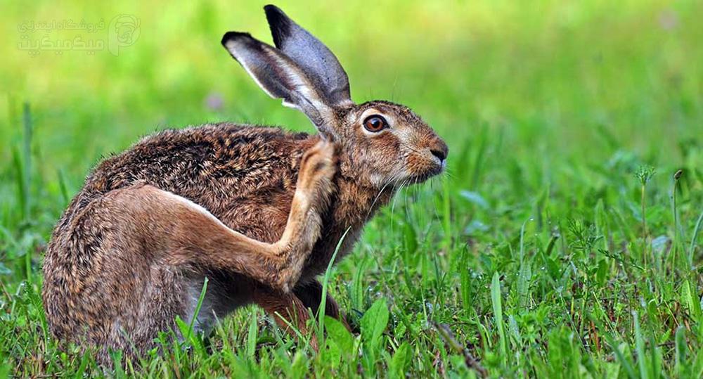 کنه خرگوش