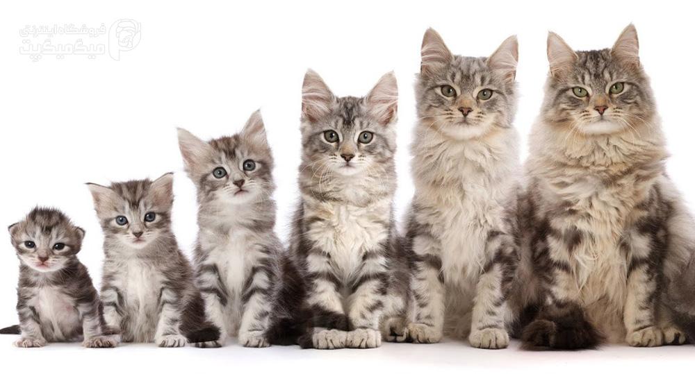 رشد بچه گربه در شش هفته اول زندگی