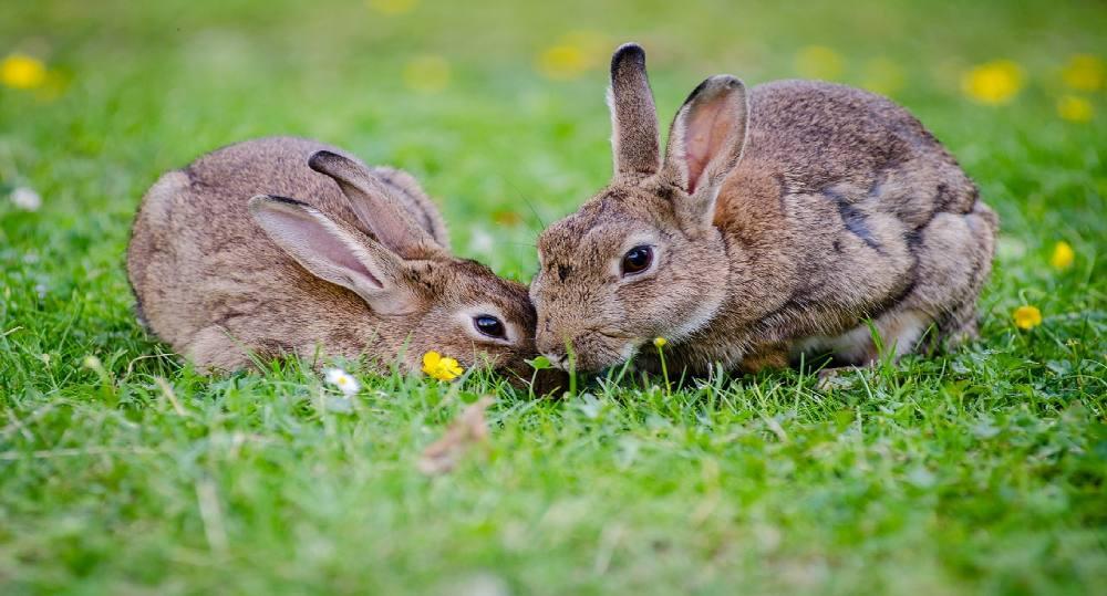 علت مدفوع خواری خرگوش