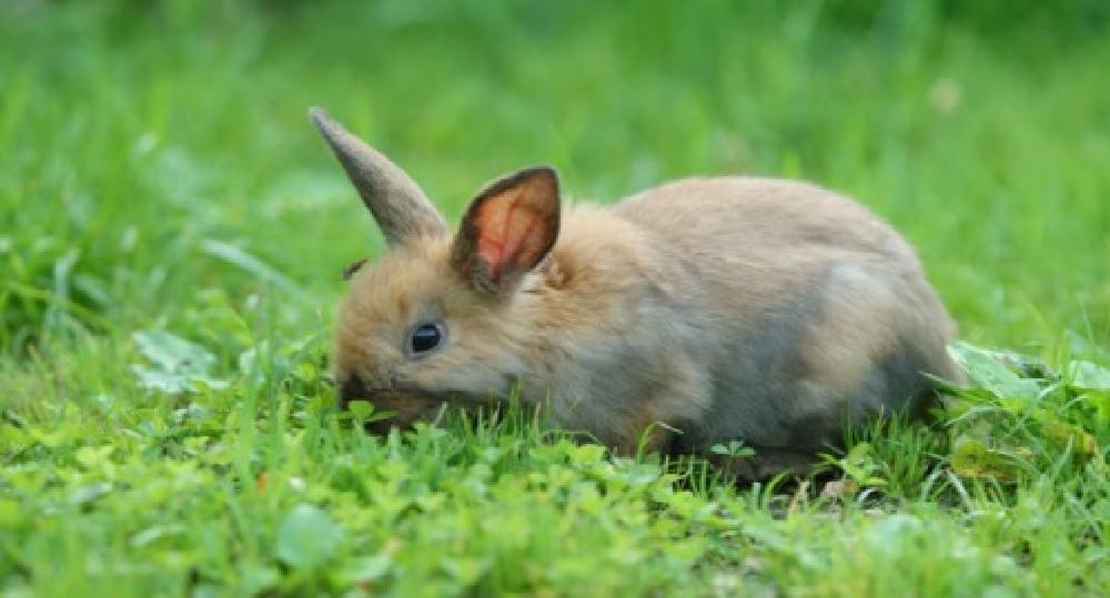 سكوتروپ مدفوع خرگوش