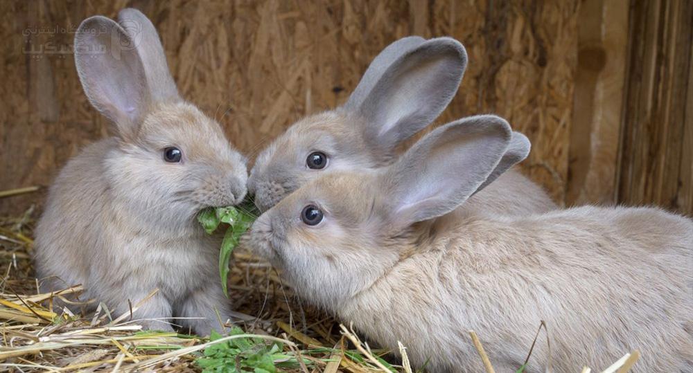 شایع ترین بیماری های خرگوش